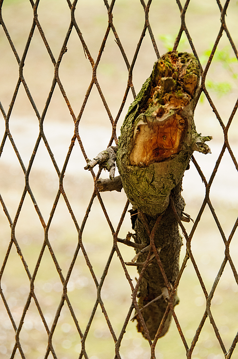 Close-Up Of Twig In Chainlink Fence Photograph by Piotr Hnatiuk / EyeEm
