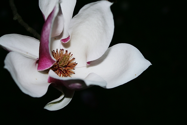 Close-up Of White And Pink Flower Blooming At Night Photograph by Lorenzo Caprotti / EyeEm