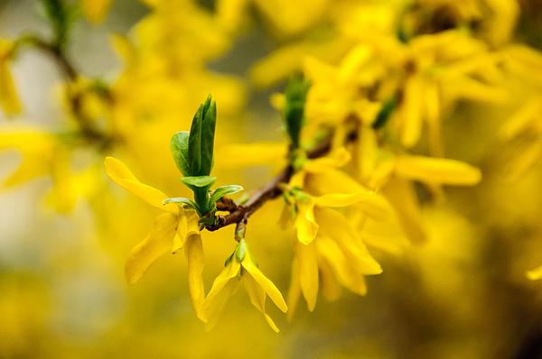 Close-Up Of Yellow Flowers Photograph by Piotr Hnatiuk / EyeEm