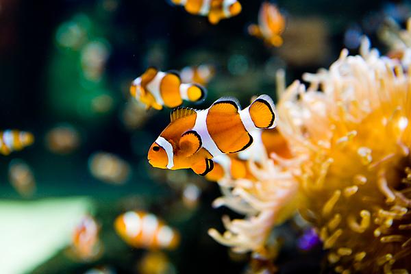 Clownfish Photograph by RapidEye