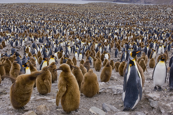 Colony of King Penguins (Aptenodytes patagonicus) in St. Andrews Bay, South Georgia Island, Southern Atlantic Islands, Antarctica Photograph by Gallo Images