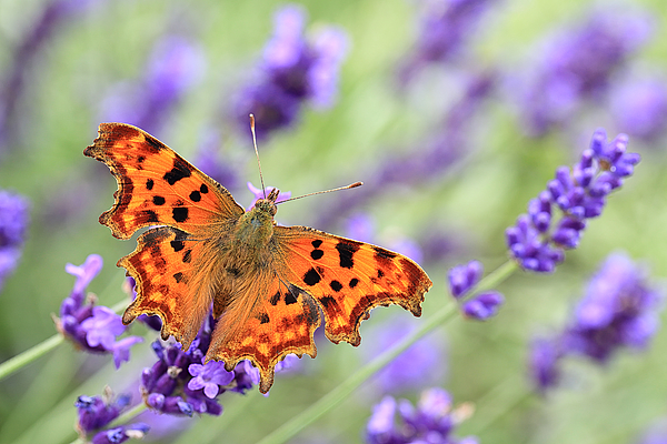 Comma Butterfly On English Lavender Photograph by © Jackie Bale