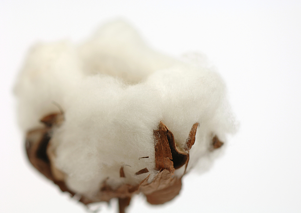 Cotton Boll, Close-up Photograph by Michele Constantini