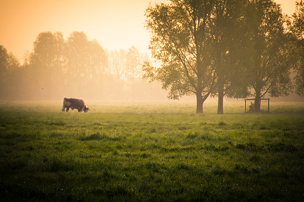 Cow grazing in field Photograph by Elodie Giuge