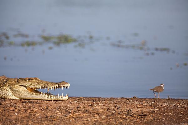 Crocodile Photograph by Wolfgang Wörndl