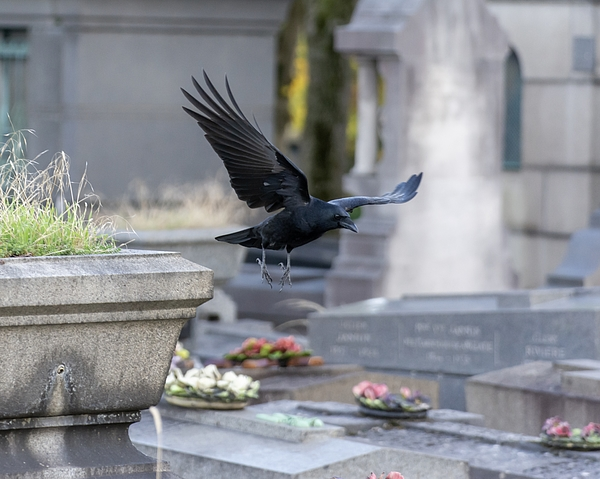 Crow - bird flying in a cemetery Photograph by Jacques Julien