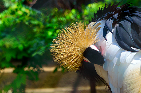 Crowned Crane Grooming Itself Photograph by Somak Pal