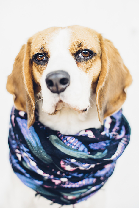 Cute beagle dog in blue scarf looking at camera Photograph by By Anna Rostova
