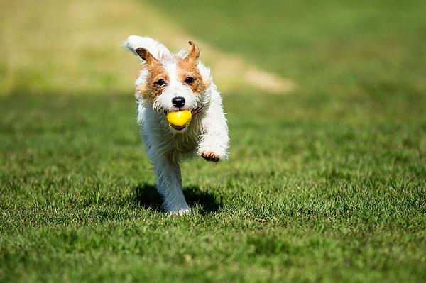Dog Carrying Yellow Ball On Grass Photograph by Katsuaki Shoda / EyeEm