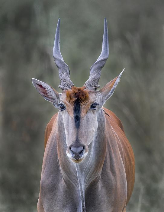 Eland Photograph by Russell Burden