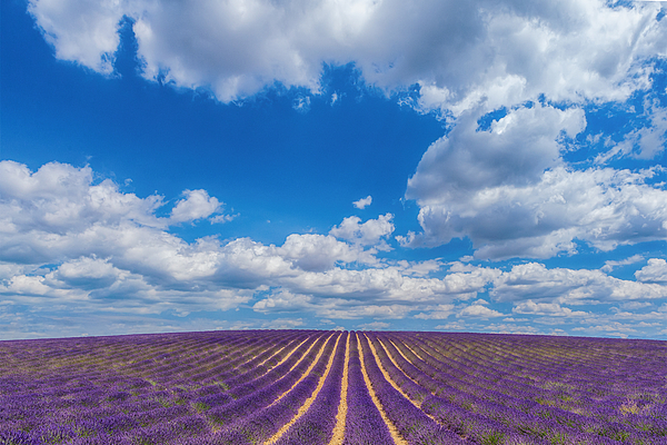 Endless lavender fields Photograph by Peter Zelei Images