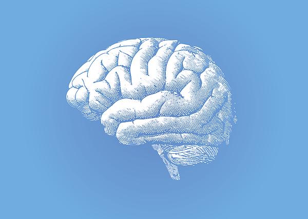 Engraving white brain on blue BG Drawing by Jolygon