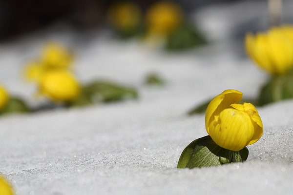 Eranthis Buttercup early spring flower in snow Photograph by Pejft