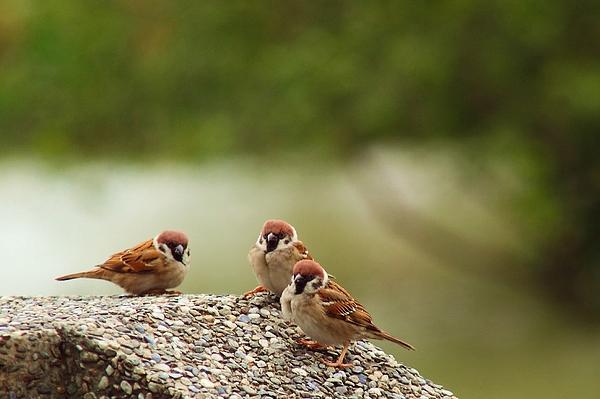 Eurasian Tree Sparrow Photograph by Buena009