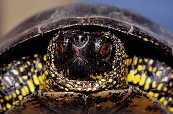 European pond turtle (Emys orbicularis), close-up Photograph by Art Wolfe