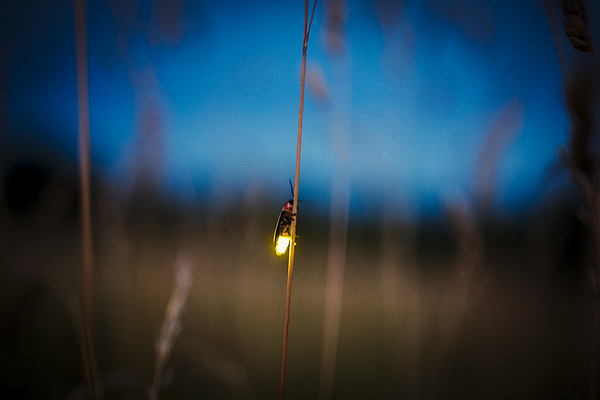 Firefly blurred flying at dusk while lighting up Photograph by Jeremy_Hogan