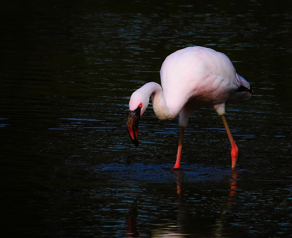 Flamingo Searching For Food In Water Photograph by Jasmin Güthermann / EyeEm