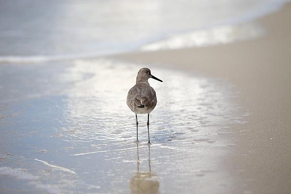 Florida Beach Bird Photograph by D E N N I S  A X E R  Photography