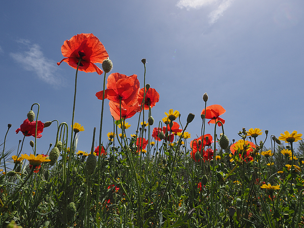 Flowers Field of poppies with sky blue Photograph by Lysvik Photos