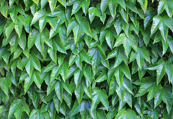 Full frame shot of Boston ivy Photograph by Frans Sellies