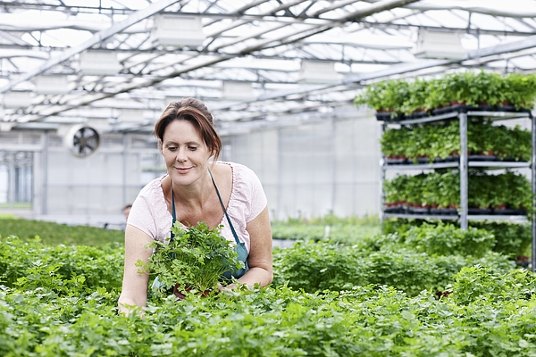 Germany, Bavaria, Munich, Mature woman in greenhouse between parsley plants Photograph by Westend61