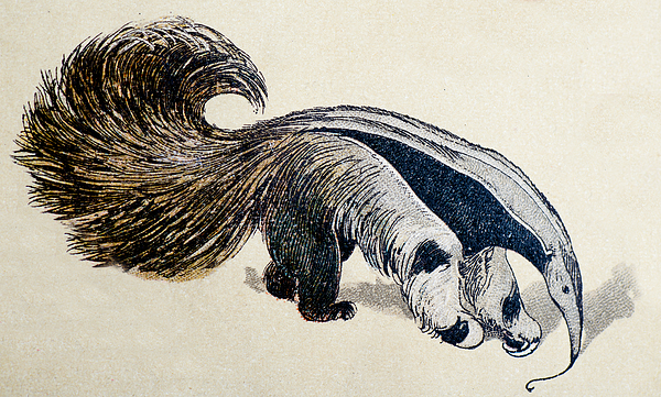 Giant anteater, mammals animals antique illustration Drawing by Ilbusca