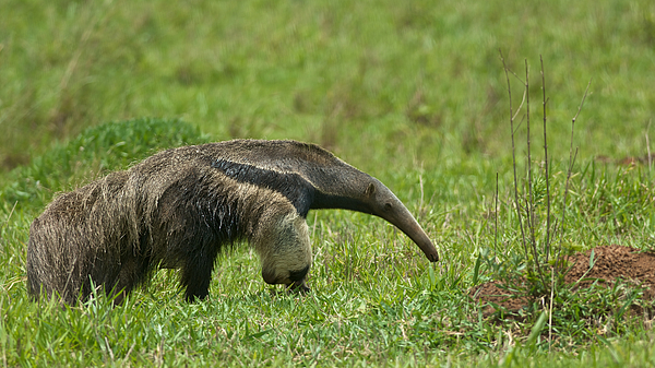 Giant Anteater Photograph by Peter Schoen