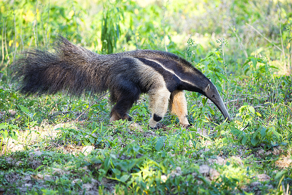 Giant Anteater Wetland Brazil Photograph by Fandrade