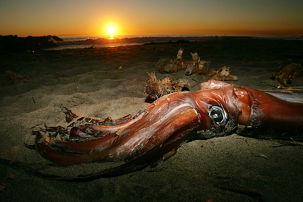 Giant Squid Mysteriously Wash Up On California Beaches Photograph by David McNew