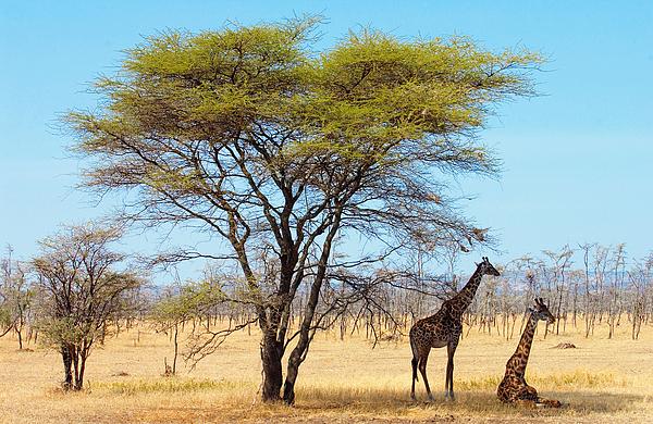 Giraffes, Serengeti, Tanzania Photograph by Tim Graham