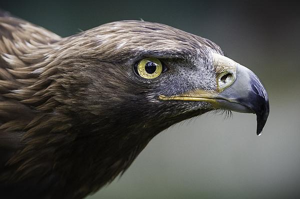 Golden eagle Photograph by Raúl Barrero photography