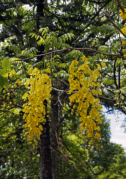 Golden shower tree Photograph by Wagner Campelo