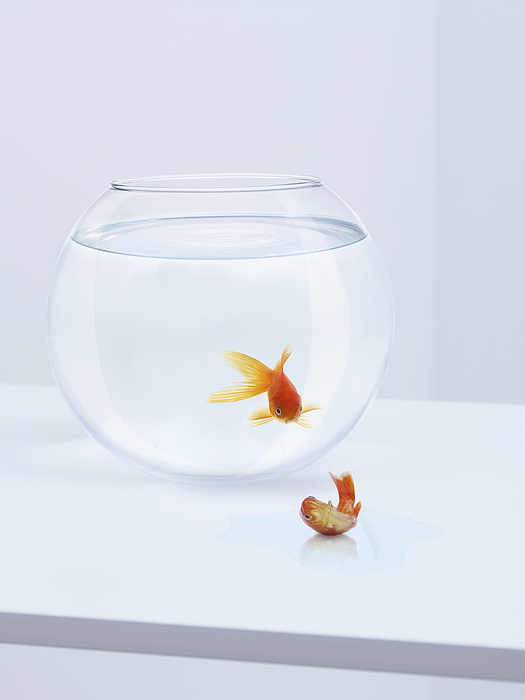 Goldfish In Fishbowl Watching Goldfish Flopping Outside Fishbowl Photograph by Adam Gault