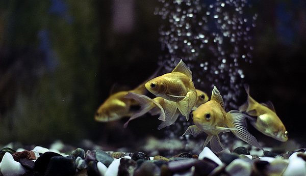 Goldfishes in an aquarium Photograph by Amit Sharma / Recaptured
