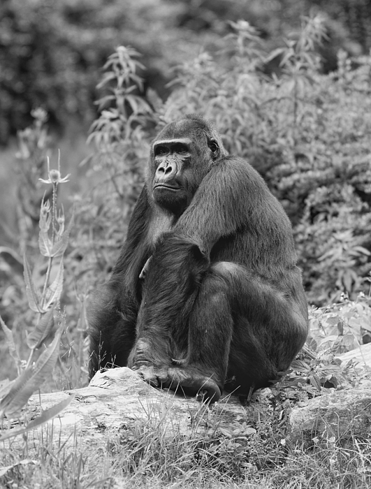 Gorilla Relaxing On Hill Photograph by Ronald Leunis / EyeEm