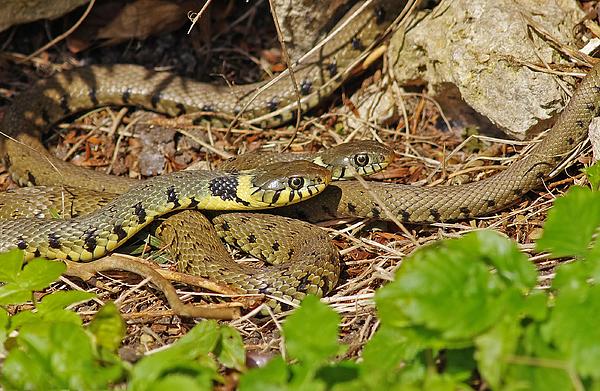 Grass snake [Natrix natrix] Photograph by Gary Chalker