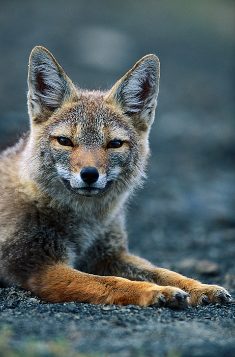 Gray Fox (pseudalopex Griseus) Resting In Alpine Meadow Photograph by Paul Souders
