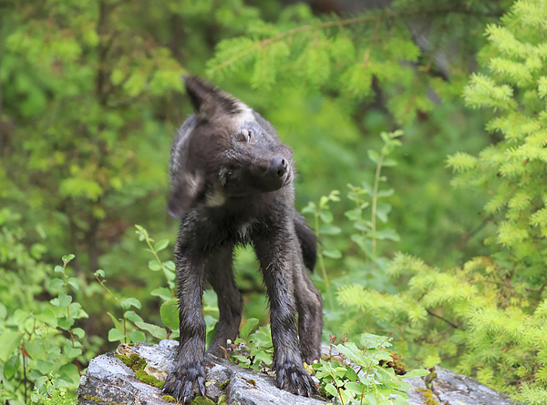 Gray Wolf Puppy Shaking Its Head Photograph by Louise Heusinkveld