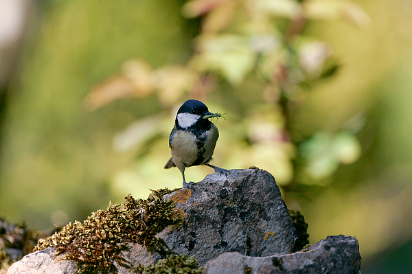 Great Tit with Insect in Beak, England Photograph by Tim Graham