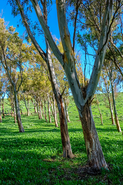 Green Field Wit Eucalyptus Trees On A Sunny Day Photograph by Finn Bjurvoll Hansen