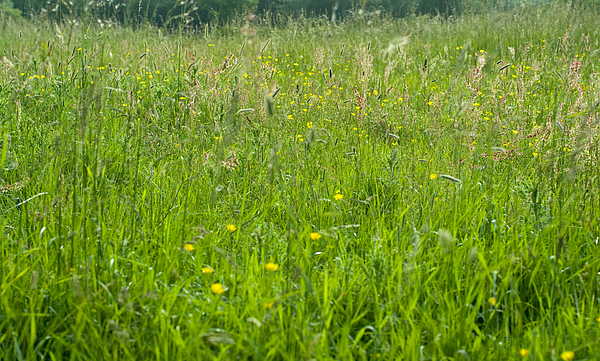 Green meadow grass and buttercups Photograph by Lyn Holly Coorg
