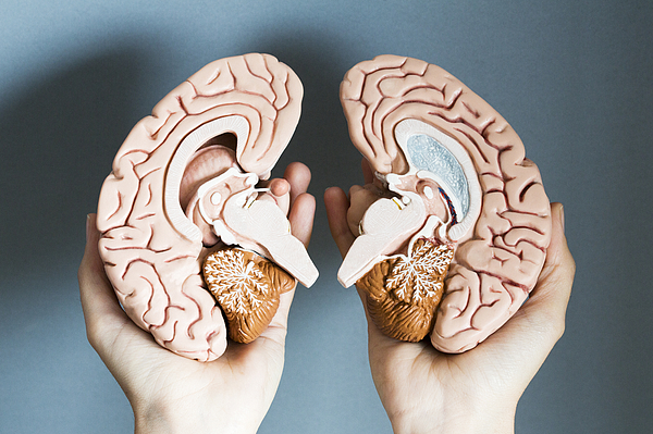 Hands holding two hemispheres of human brain Photograph by Dimitri Otis