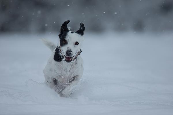 Happy crossbreed dog running in snow, Switzerland Photograph by Brigitte Blättler