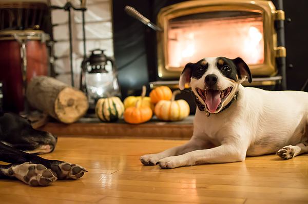 Happy Dogs near fireplace in autumn with Thanksgiving pumpkins in background Photograph by Milaspage