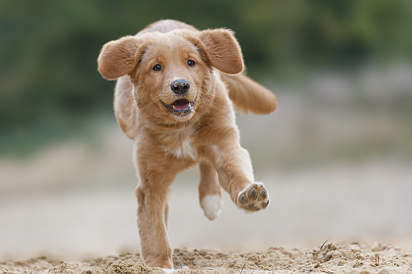 Happy running Toller on one feet Photograph by @Hans Surfer