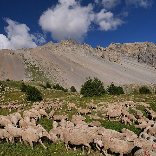 Herd Of Sheep On Grassy Field Against Sky Photograph by Serge Vuillermoz / EyeEm
