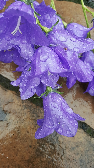 High Angle View Of Raindrops On Purple Flower Photograph by Rachel Jeffrey / EyeEm