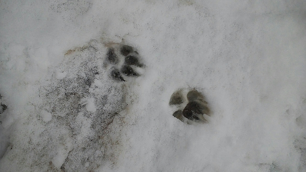 High Angle View Paw Print On Snow Covered Field Photograph by Eugene Vaniderstine / EyeEm