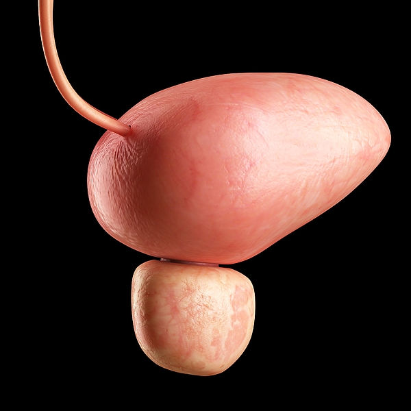 Human bladder, illustration Drawing by Sciepro/science Photo Library