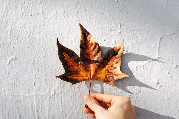 Human Hand Holding Autumnal Leaf Photograph by Vctor Del Pino / EyeEm